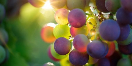 """""""Чому Ісус називає себе виноградною лозою?"""", - коментар Євангелія дня"""